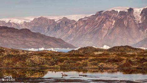 les jeunes plongeons suivent un des adultes sur un petit lac au-dessus du camp. En arrière plan, la petite calotte glacière de Stor Ø (Photo Yann Bigant / Naturevolution)