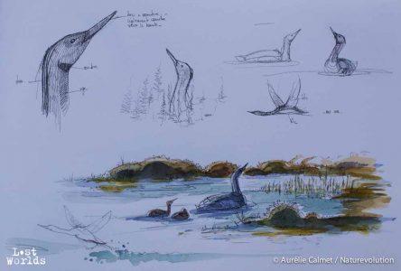 Etudes sur les plongeons (Photo et dessin par Aurélie Calmet / Naturevolution)