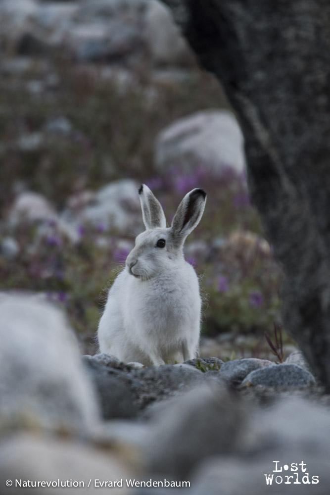 Arctic hare near Camp 2
