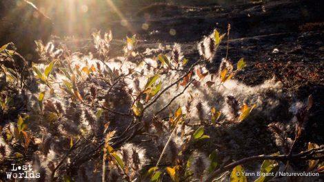 La linaigrette est une plante qui produit une espèce de fourrure blanche, omniprésente dans la toundra du Scoresby Sund.
